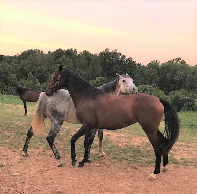 two thoroughbred mares for sale photo