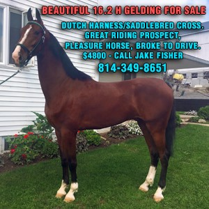 Fred horse for sale