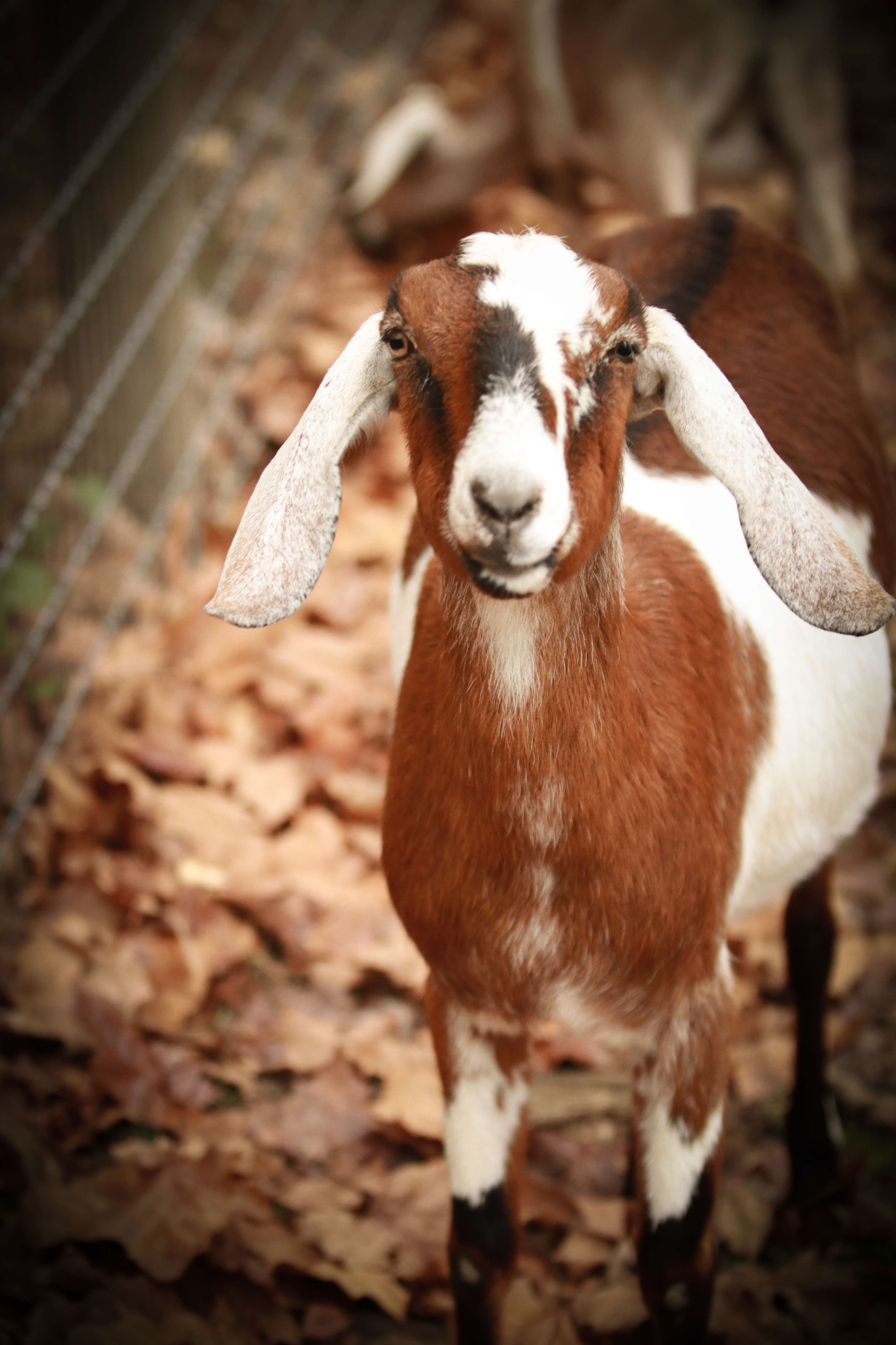 CONTEST PET BROWN GOAT MORELLE