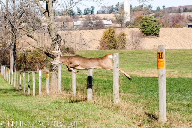 CONTEST PET B Deer jumping fence Glaccum