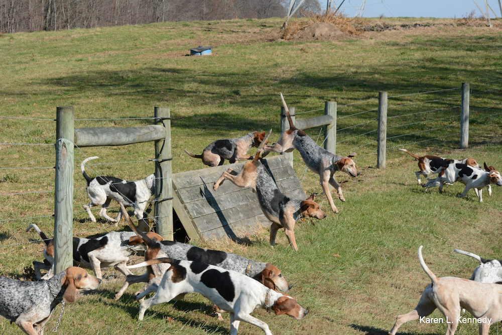 CONTEST PET River Hill Foxhounds on a run Kennedy