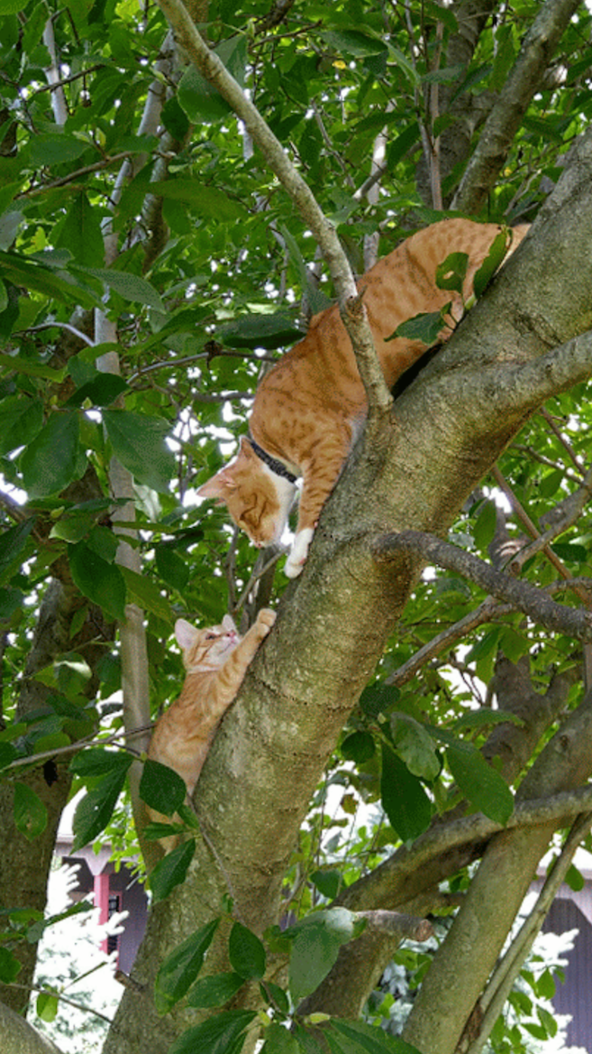 CONTEST PET cats in tree BEWLEY