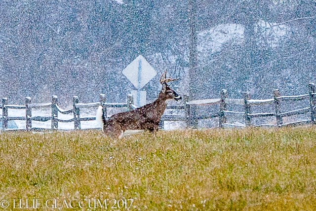 CONTEST PET deer in snow Glaccum