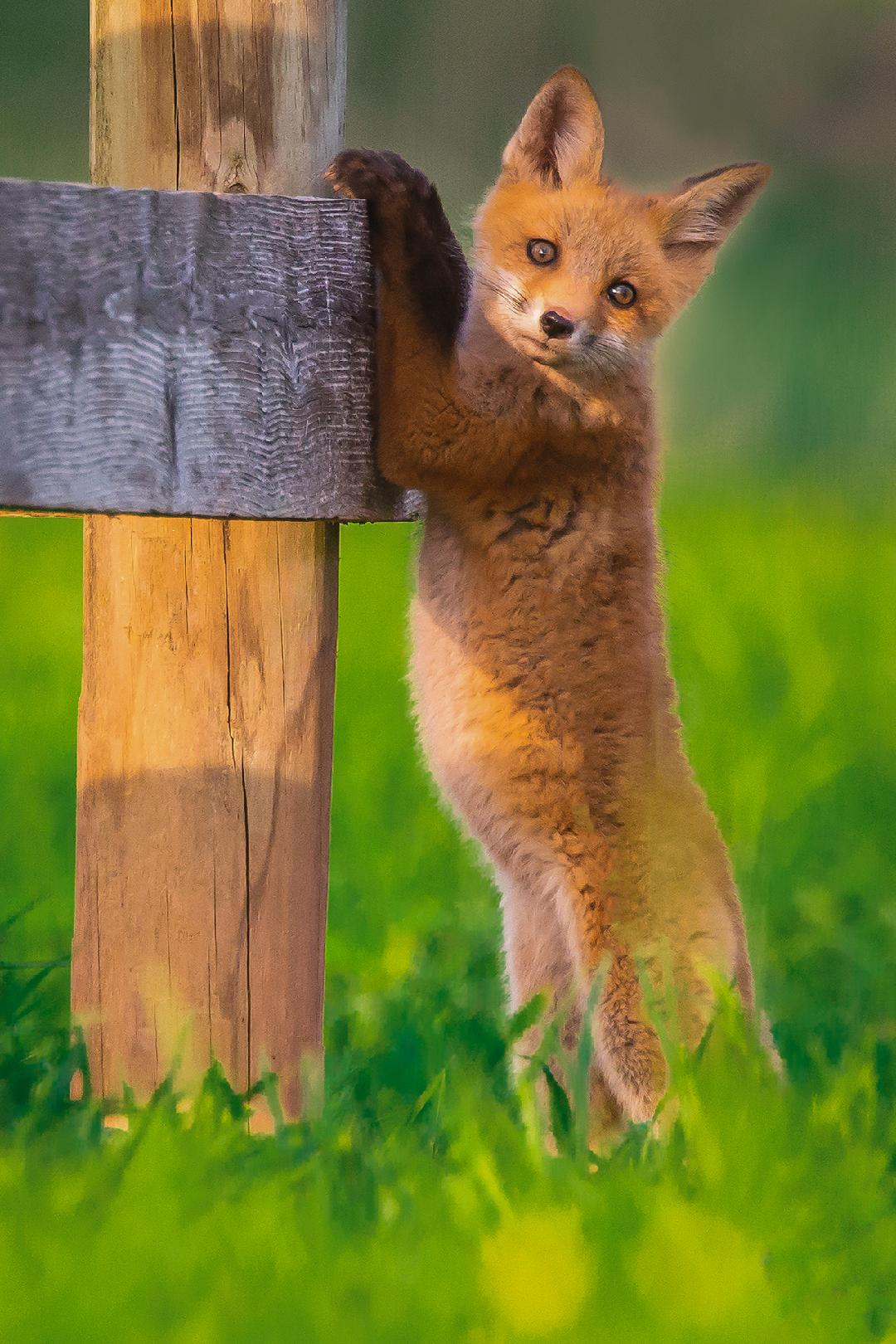 CONTEST PET fox cub berkowitz